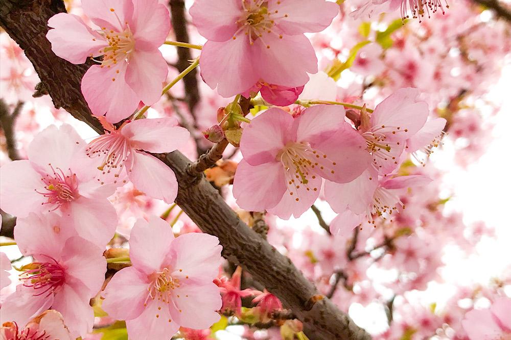 河津桜(カワヅザクラ)の東京の開花記録と桜の開花予想 | 私的花写真 ...